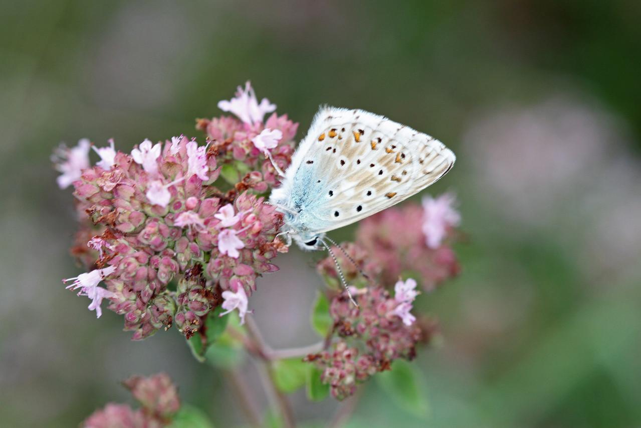 Lysandra bellargus-Himmelblauer Bläuling