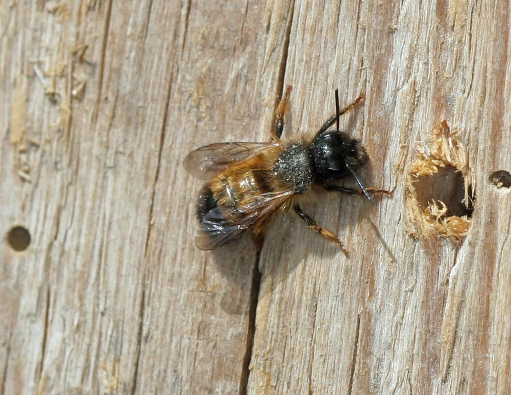 Rote Mauerbiene - Osmia bicornis (rufa) - Bastian