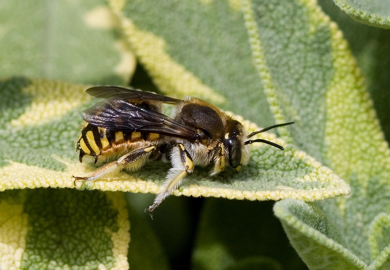 Große Wollbiene - Anthidium manicatum -Bastian