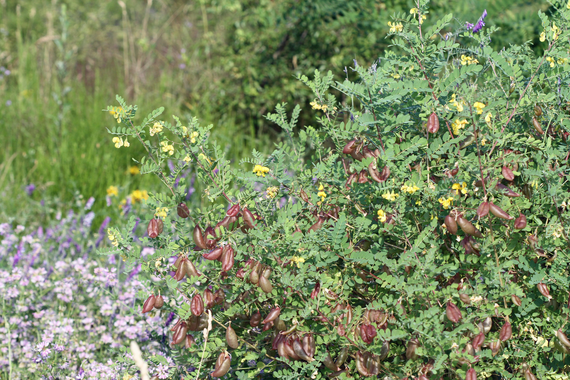 Gelbe Blasenstrauch-Colutea arborescens