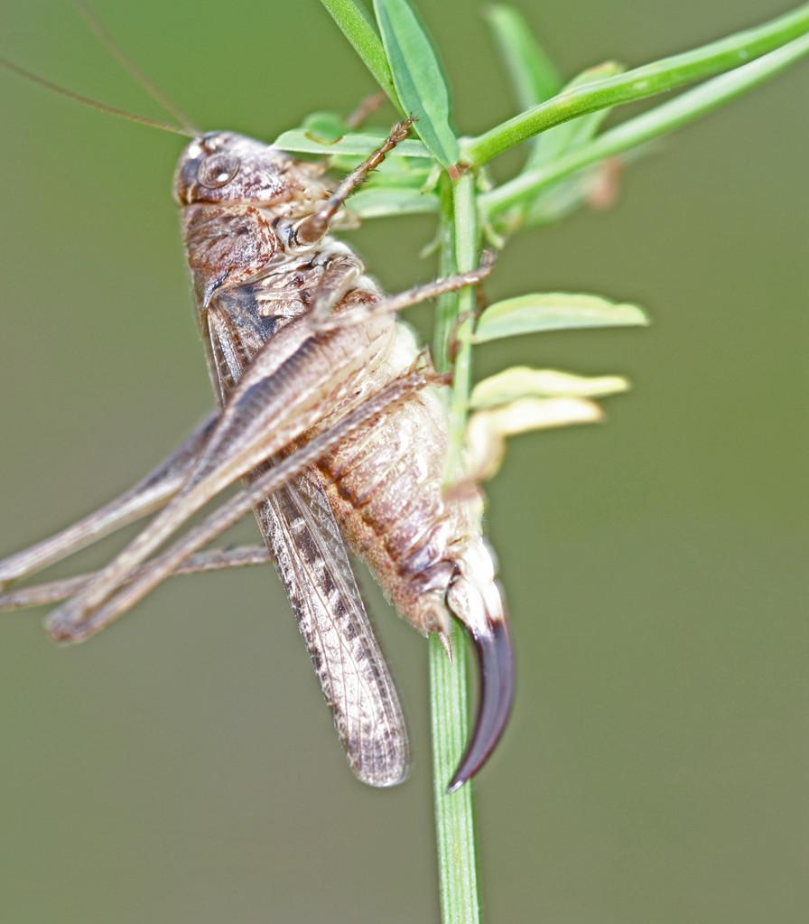 Westliche Beißschrecke-Platycleis albopunctata