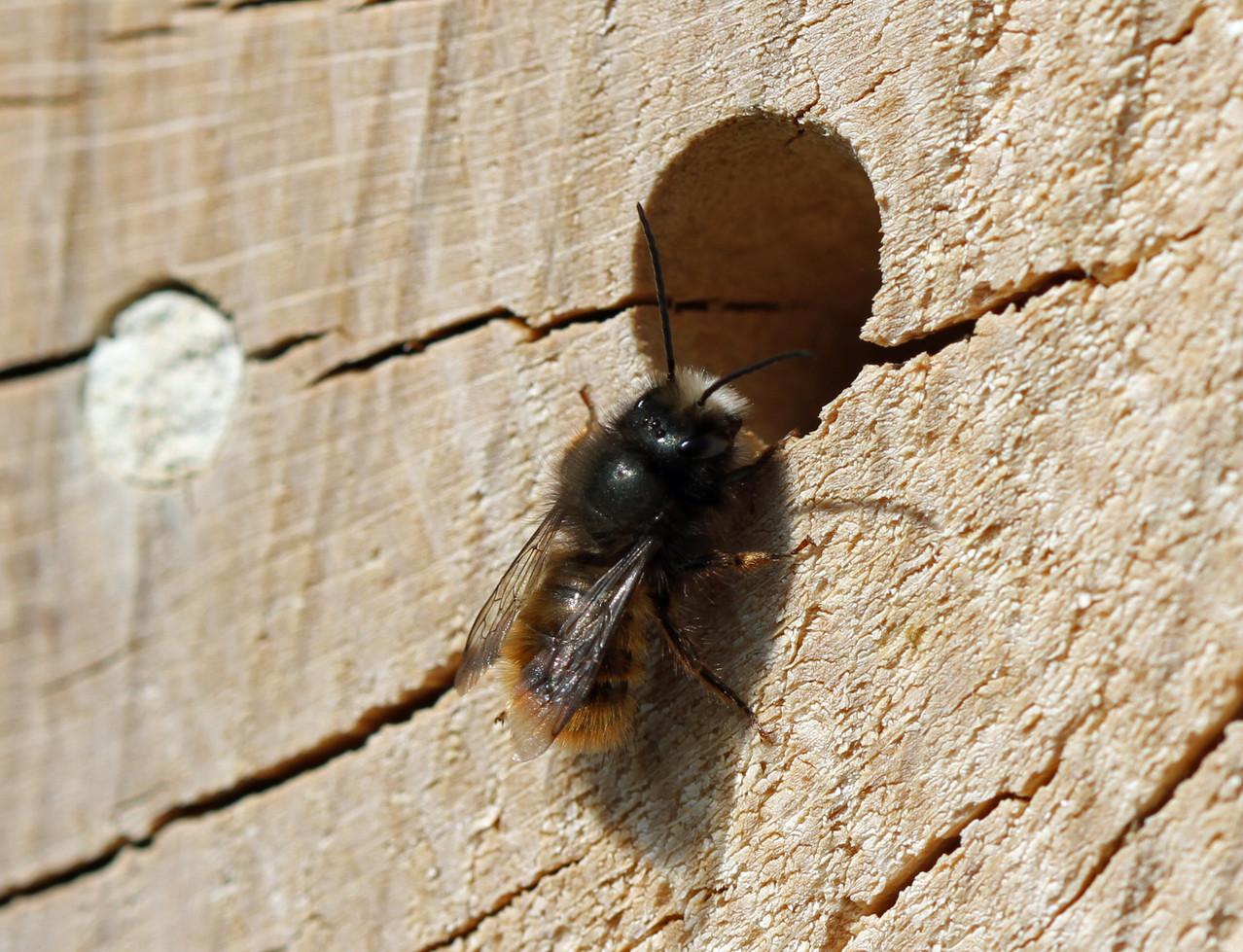 Gehörnte Mauerbiene Männchen - Osmia cornuta - Bastian