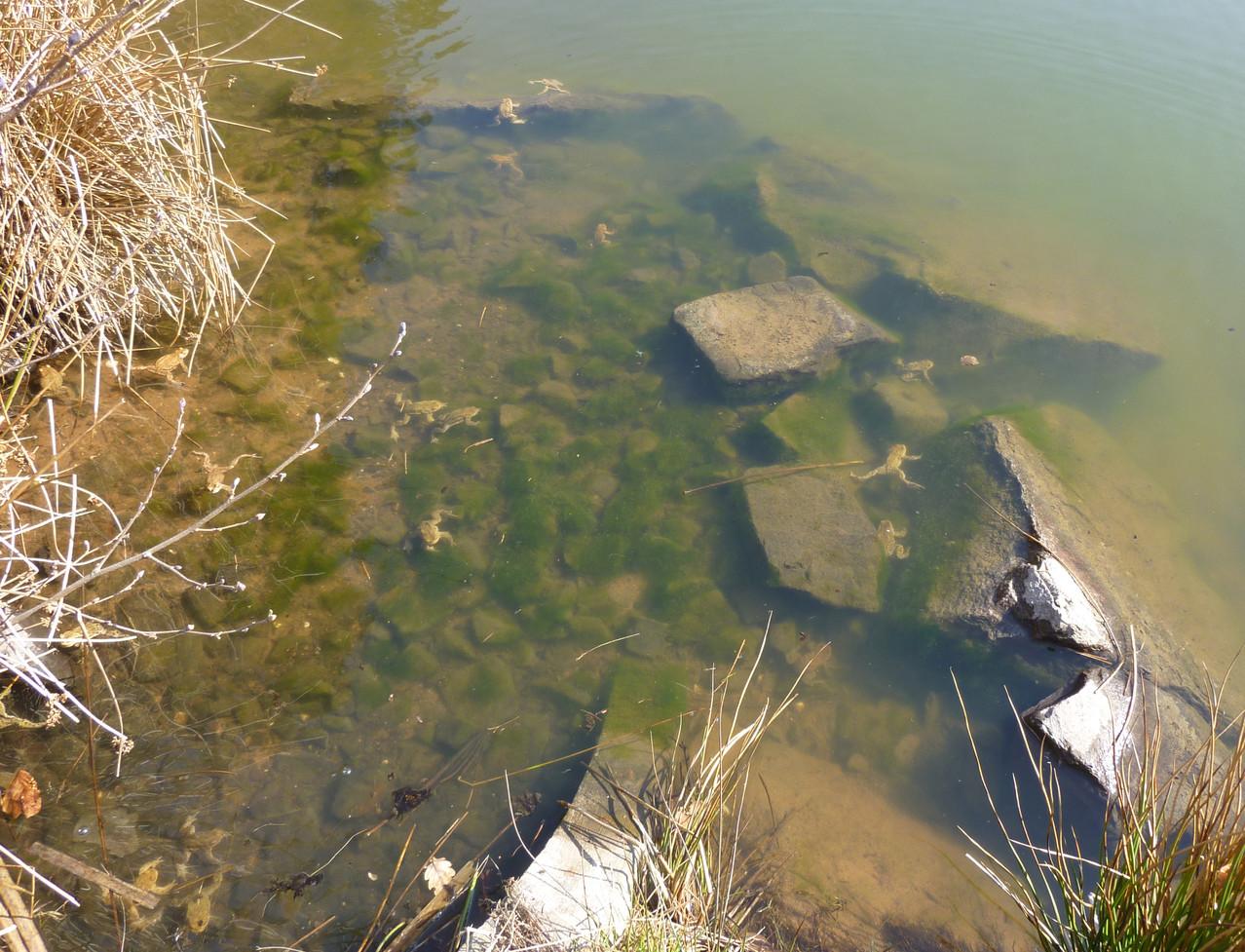 Erdkröten sammeln sich im Wasser - Ruth Wölke