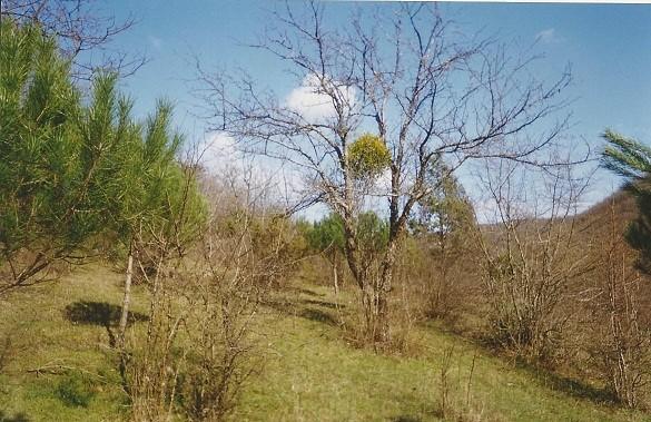 Дерево Омела.