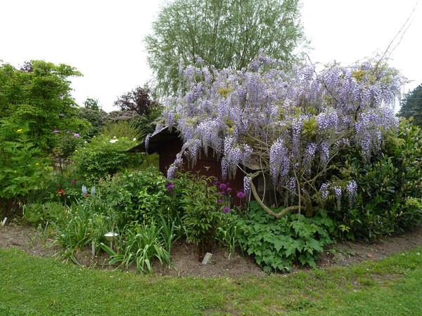 Das Dach des Pumpenhauses dient als Kletterhilfe für den Blauregen. (Glyzine )Wisteria sinensis
