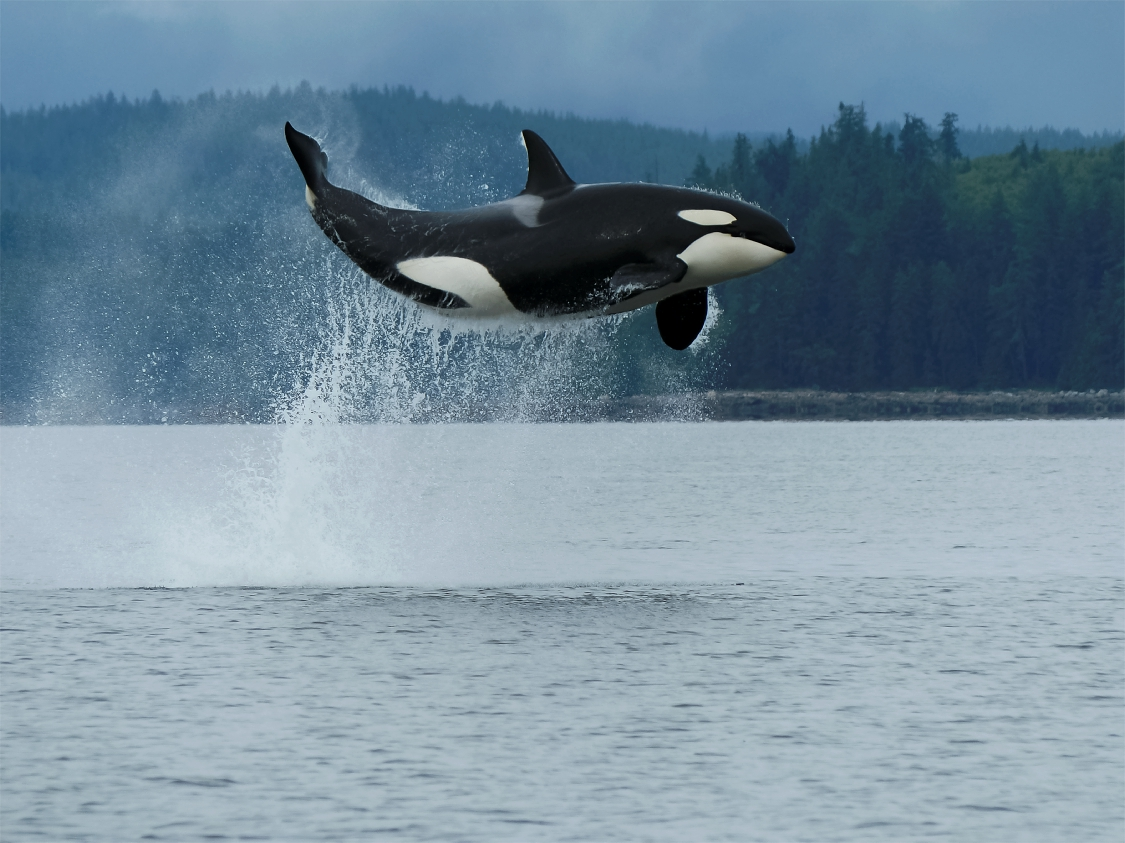 Orca im Freudentaumel