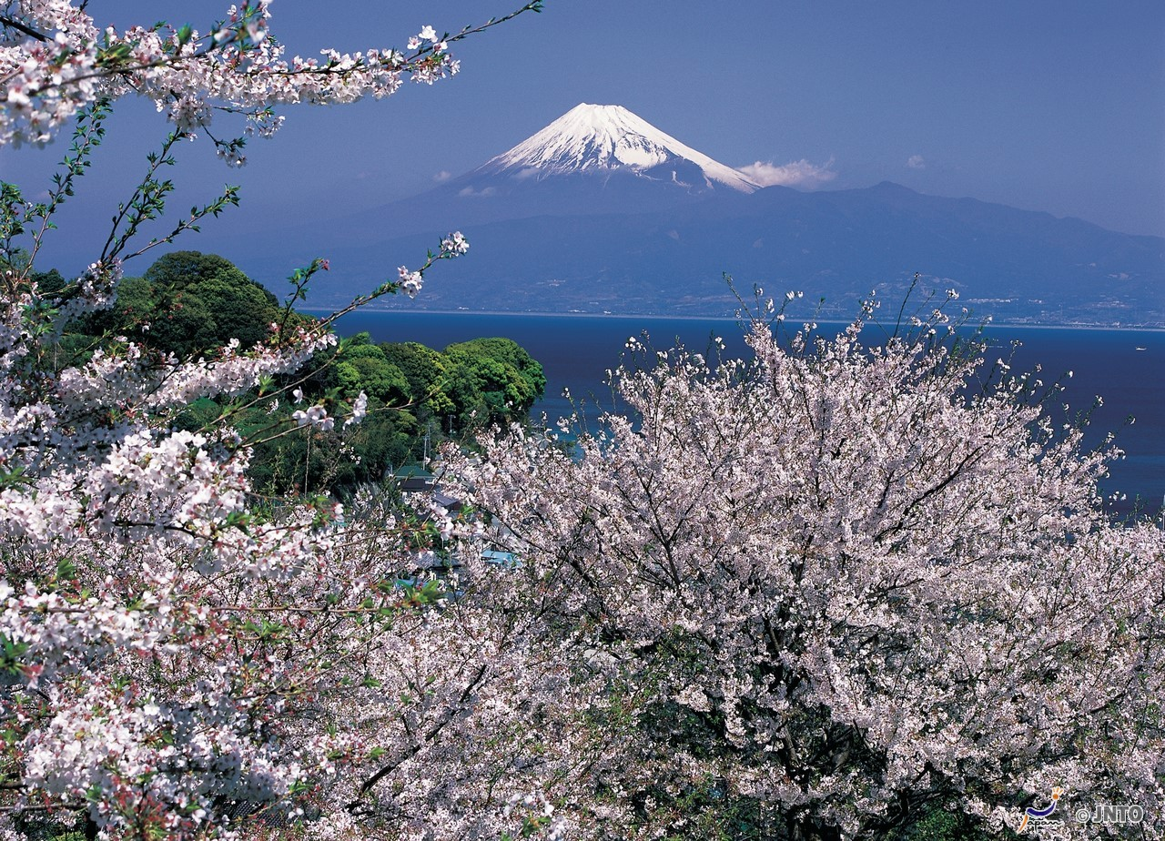 Kirschblüte mit dem Fujiyama im Hintergrund