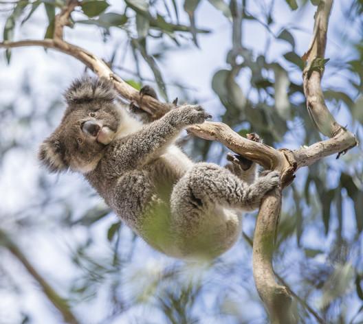 Koala                                                                                                                            © Tourism Australia