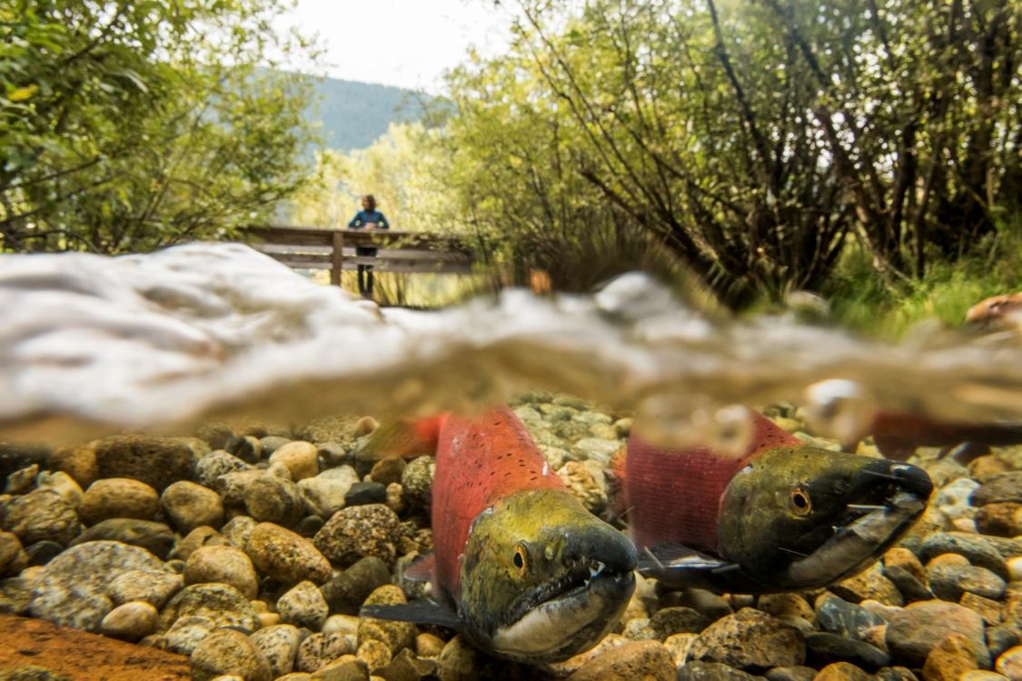 Lachse beim Laichen im Kokanee Creek Park, BC