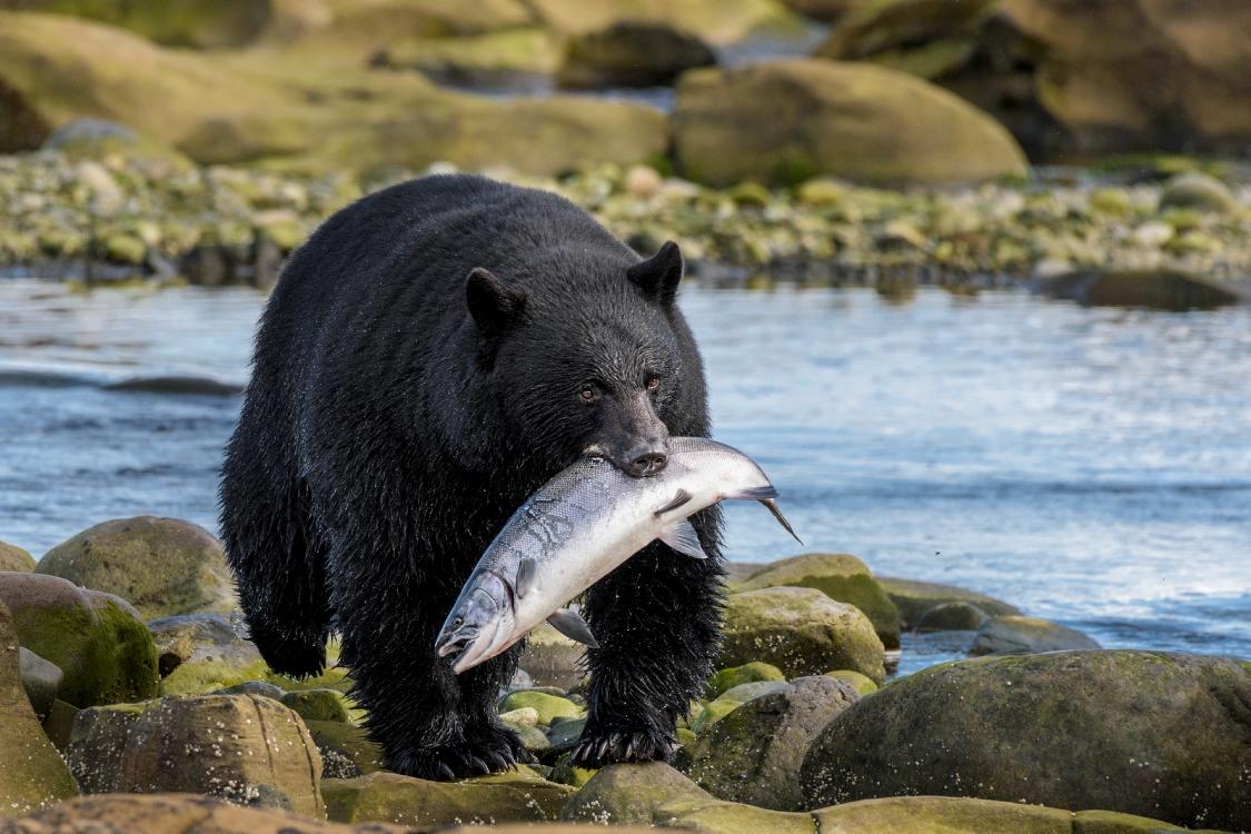 Schwarzbär mit fetter Beute