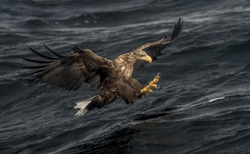 Fischadler auf den Lofoten, Norwegen © Thomas Rasmus Skaug