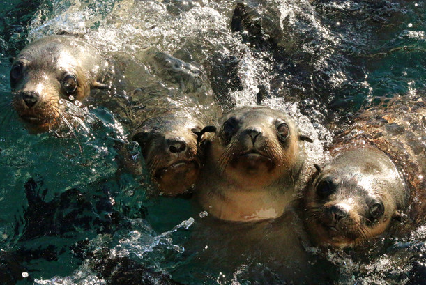 Seelöwen bei Philip Island, Victoria                                                                     © Wild Coast Cruises