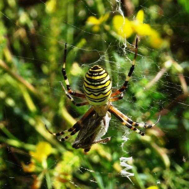 Die Wespenspinne hat eine Heuschrecke erbeutet. In der bunten Blumenwiese ist sie perfekt getarnt.