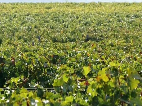 緑であふれる初夏のワイナリー