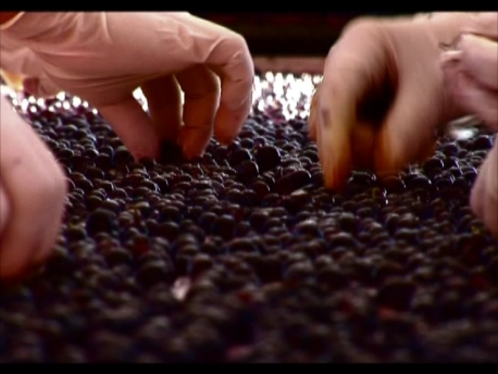 徐梗後さらに細かく選果し最良の葡萄を選ぶ