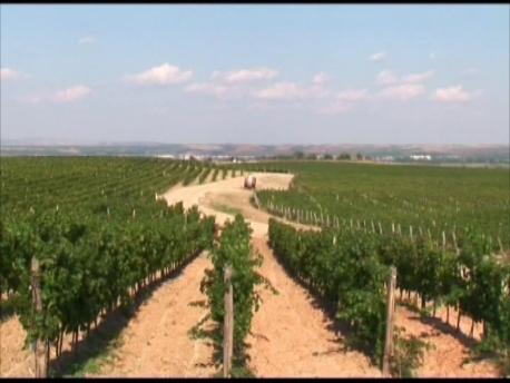 丘陵地帯に広がる550haの葡萄畑
