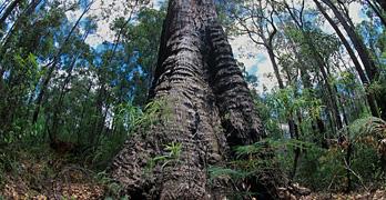 ジャラハニーは、西オーストラリア州だけで育つジャラの木のはちみつ。