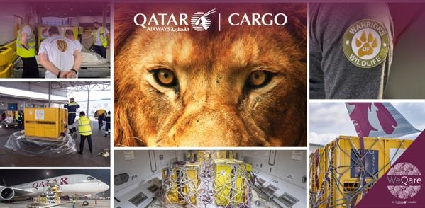 Seven lions get a new lease of life in South Africa. Image: Qatar Airways Cargo
