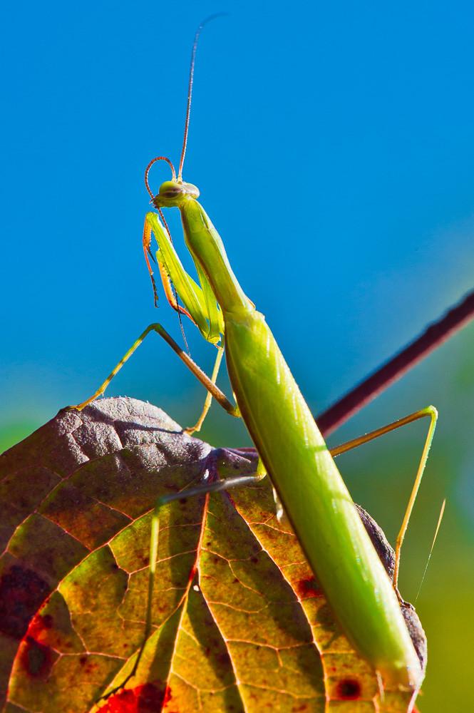 Europäische Gottesanbeterin - Mantis Religiosa - Fundort: Saarland