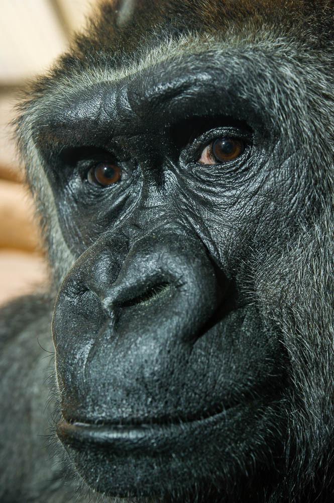 Westlicher Flachlandgorilla - weiblich - Gorilla gorilla gorilla - Zoo Saarbrücken