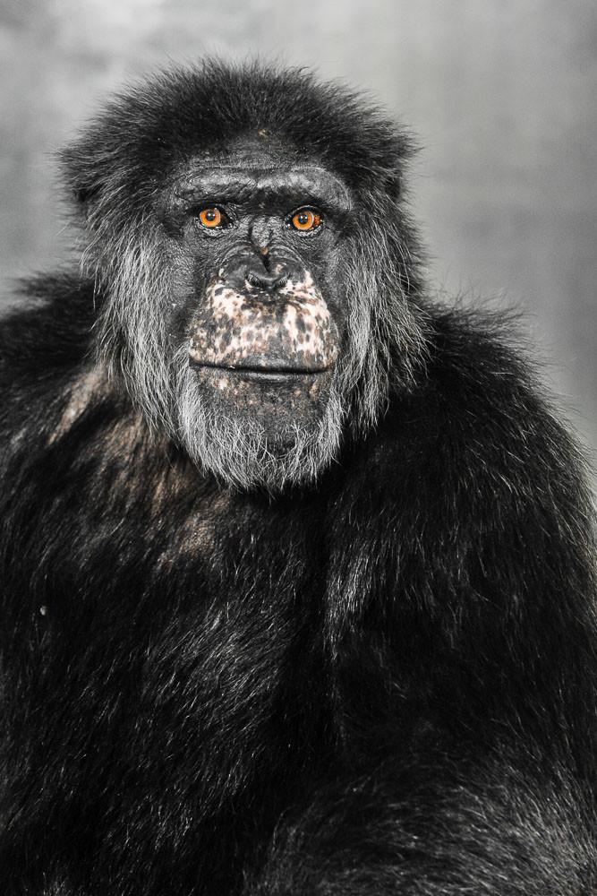 Jimmy - Gemeiner Schimpanse - männlich - Pan troglodytes - Zoo Saarbrücken