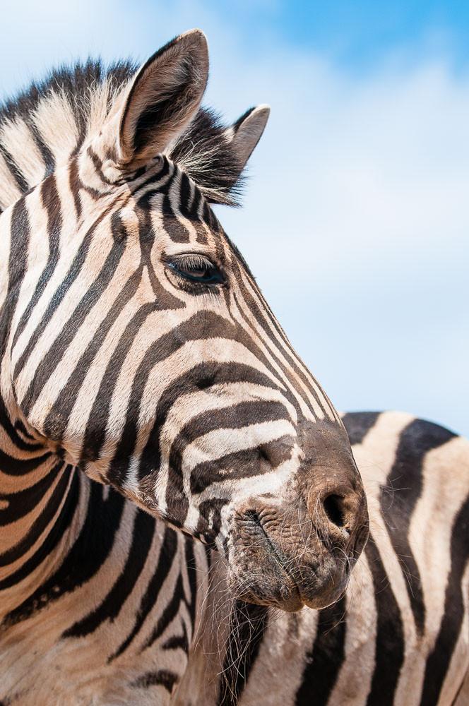 Chapman Zebra - Equus quagga chapmani - Zoo Saarbrücken
