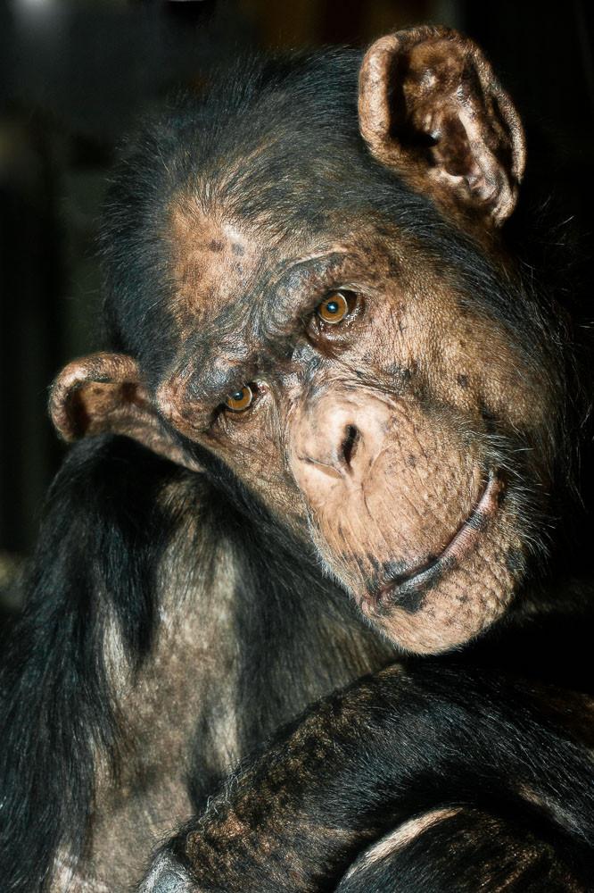Wilma - Gemeiner Schimpanse - weiblich - Pan troglodytes - Zoo Saarbrücken