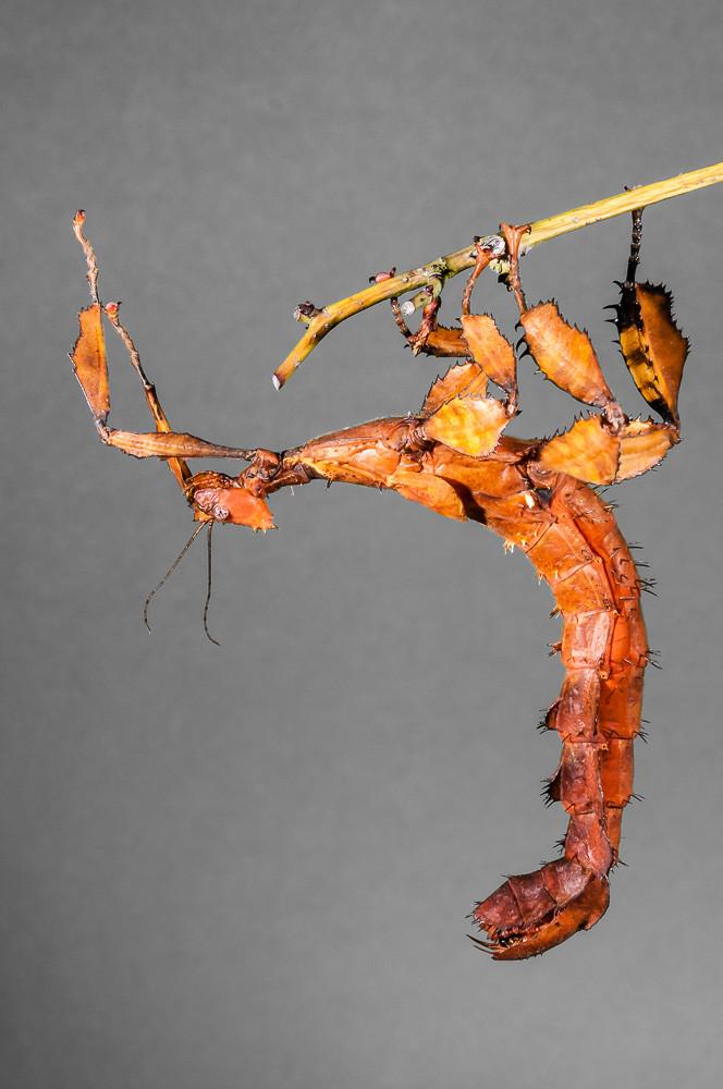 Australische Gespenstschrecke - Extatosoma tiaratum