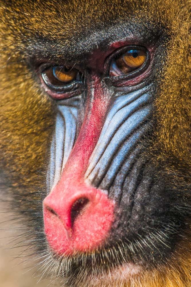 Mandrill - weiblich - Mandrillus sphinx - Zoo Saarbrücken