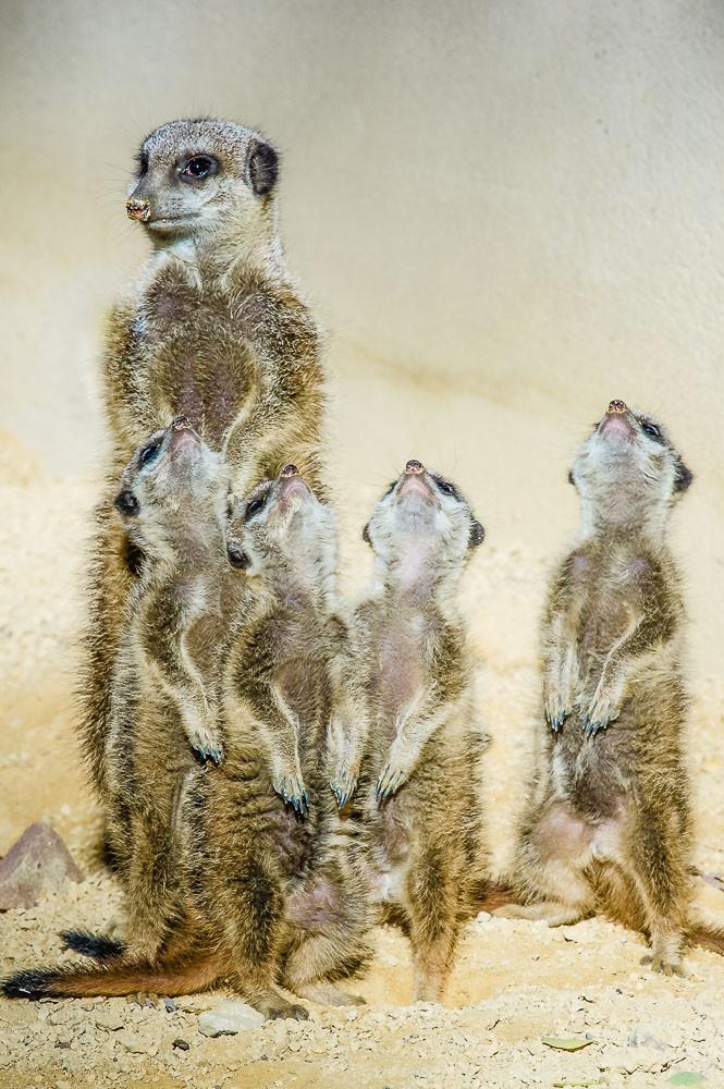 Erdmännchen - Familie beim Sonnenbad - Suricttaata surica - Zoo Saarbrücken