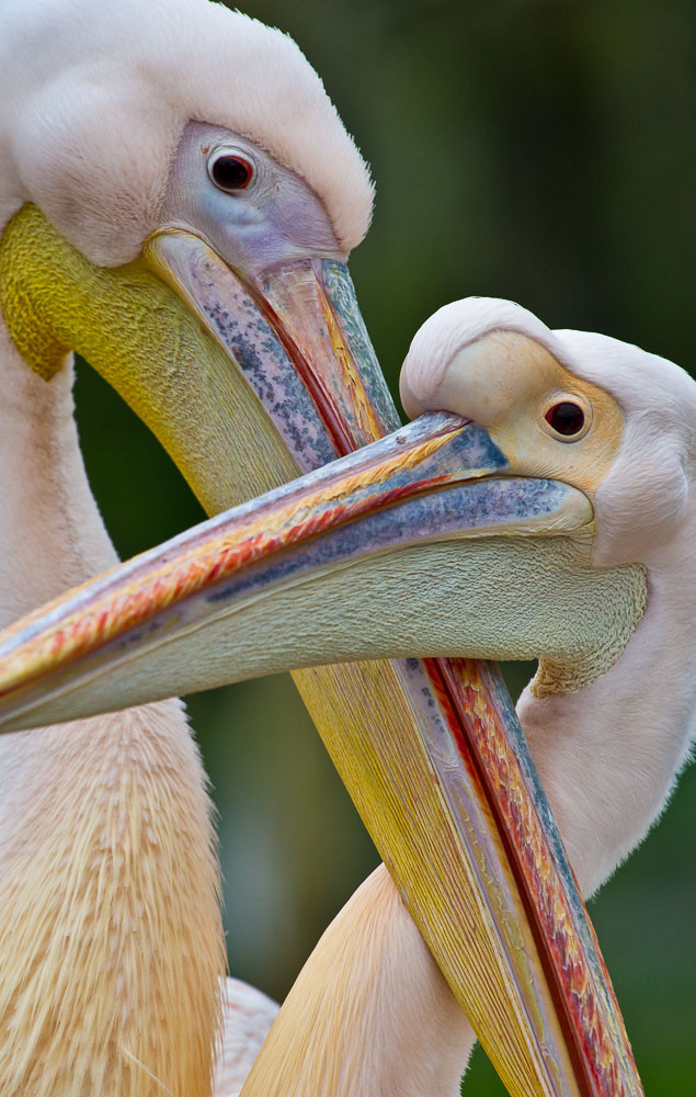 Pelikane in der Stuttgarter Wilhelma