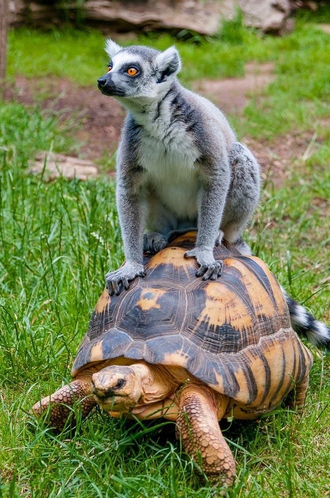 Katta (Lemur catta) reitet auf einer Strahlenschildkröte (Astrochelys radiata) - Zoo Saarbrücken