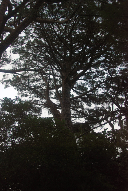 Another huge Monterey Pine - Pinus radiata behind Sydney Cove. These were planted by Charles Fraill in the late 19th century. A commited botonist he petitioned the government to make Ulva a sanctuary