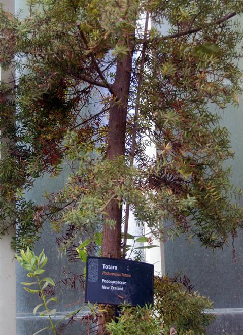 Young Totara (podocarpus totara) Auckland Domain.