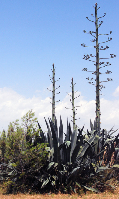 Agave (agave Americana) in May