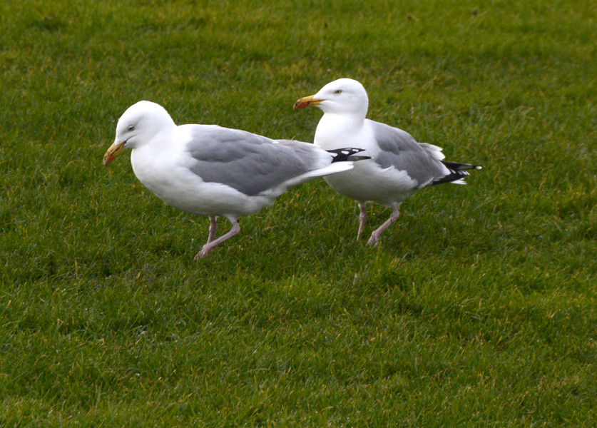 ...go. Puddle, puddle, puddle. Herring Gulls puddling for worms on the Green at Deal, Kent.