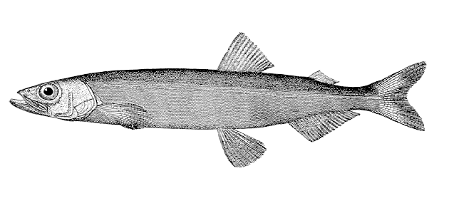 Capelin (Mallotus villosus) (Wikimedia Commons). The Capelin is an important prey fish for Atlantic Cod, Harp Seals and Minke Whales. Barents Sea stocks stood at 4.5m tonnes in 2008 and the 2012 quota was 221,000 tonnes.