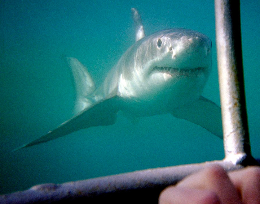 A great white shark approaches divers in a cage off Dyer Island, Western Cape, South Africa (courtesy Alban @ wikimedia)