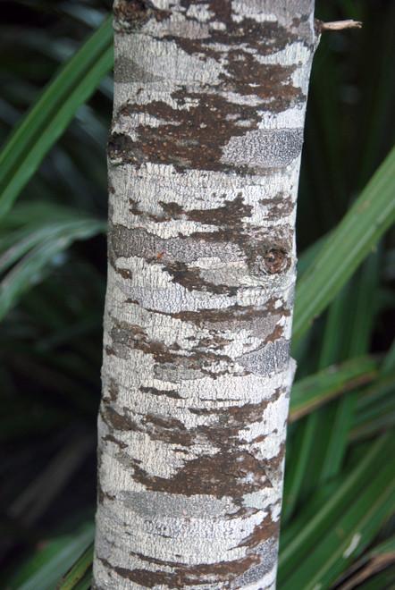Kamahi multi-trunk thicket on the Rakiura Track east of Lee Bay on Stewart Island.