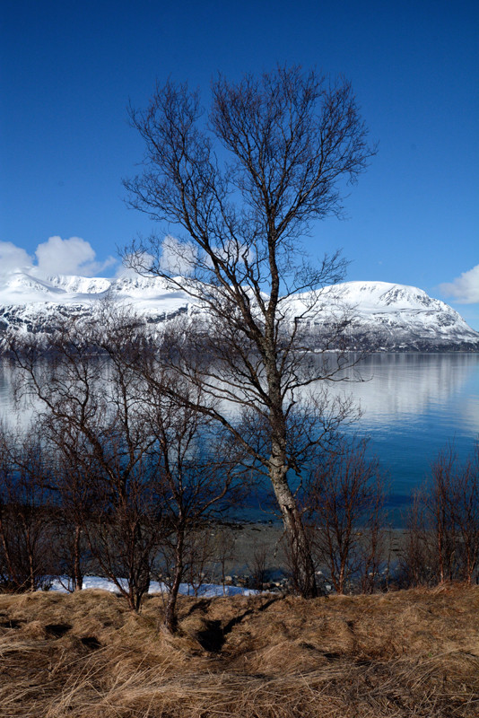 Silver  or Downy Birch with the Ullsfjorden creating a dramatic backdrop in subarctic Norway near the Svensby ferry crossing taking the road between Tromso and Olderdalen.