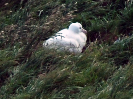 Taiaroa Head albatross chick in the rough, sheltering vegetation of the nest site  - a steep slope facing into prevailing winds and updraughts