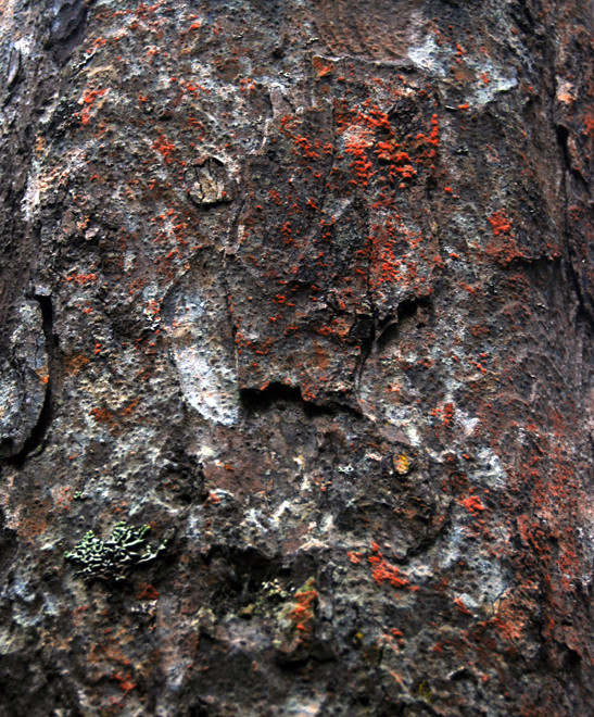 Tree bark and red algae on Miro tree. (Thanks to Peter Tait for helping with the identification.)