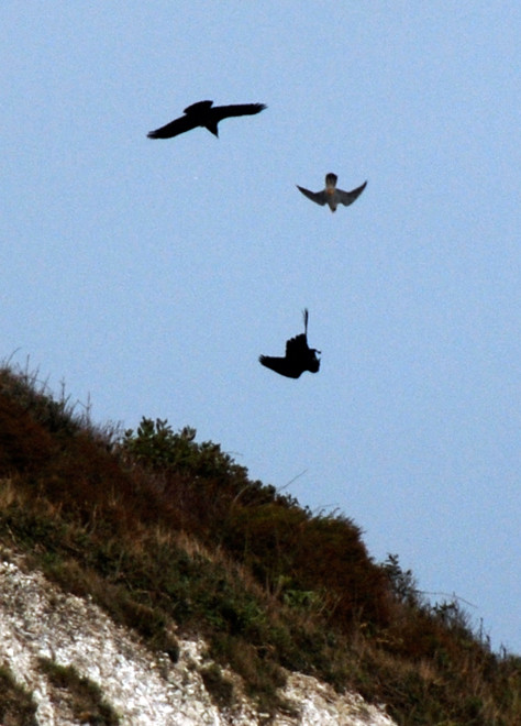 Two ravens, one turning upside down, and a peregrine diving