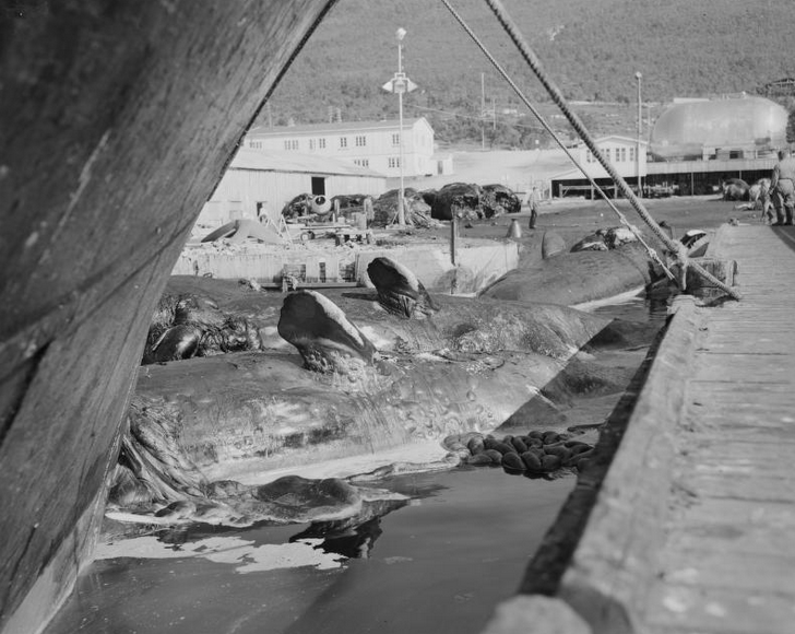 Whaling Station in Tromsø Sound, 1961 (National Library of Norway http://www.nb.no/nbsok/nb/e5792cc87f6dd83037be30c8bdc0dd72?index=3#0).