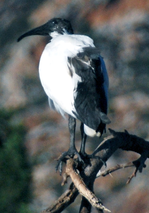An African Sacred Ibis at Montagu in the Western Cape: it has the same stumpy legs and face bare of plummage as the Royal Spoonbill