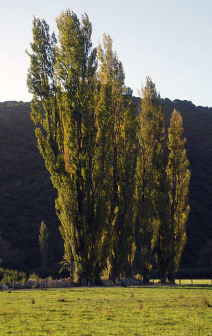 Wainui Bay poplars in the evening light