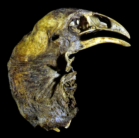 Mummified head of an Upland Moa over 600 years-old found in a cave in Otago in the 19th century (Photo courtesy National Museum of NZ, Wellington)