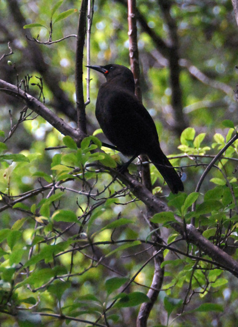 South Island Saddleback (Philesturnus carunculatus caranulatus)  in Shiny Karamu (Coprosma lucida) on Ulva Island.