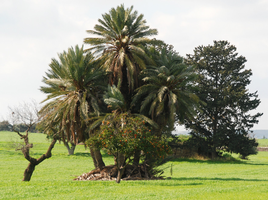 Date palms and orange tree near Hula Sultan Tekke