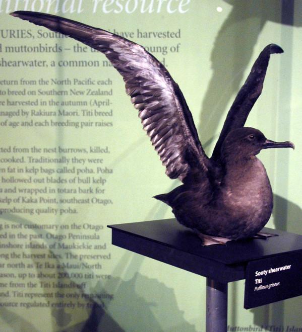 Stuffed Sooty Shearwater (Otago Museum Dunedin)